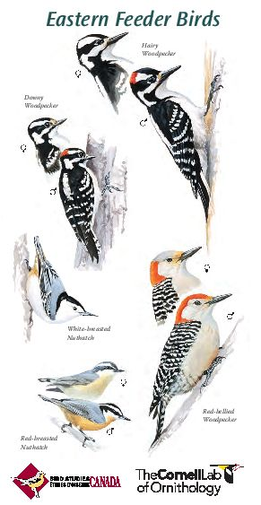 Common Feeder Birds of Eastern North America
